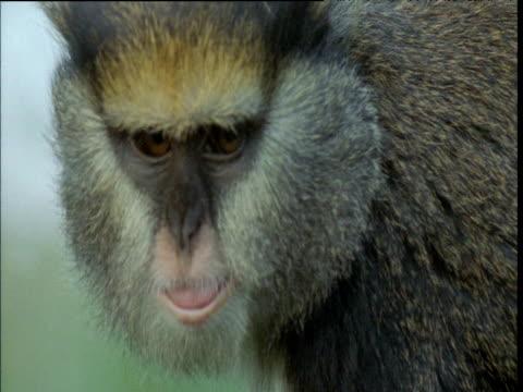 "vidéos et rushes de campbell's guenon eats fruit, looks at camera then walks away - ""bbc natural history"""