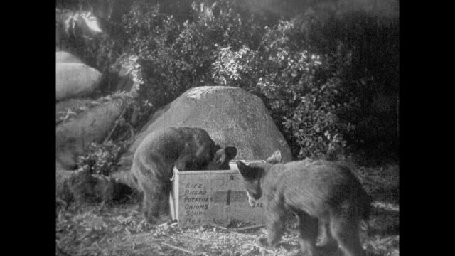 1925 camping explorers watch baby bears stealing food from nearby crate - 1925 stock videos & royalty-free footage