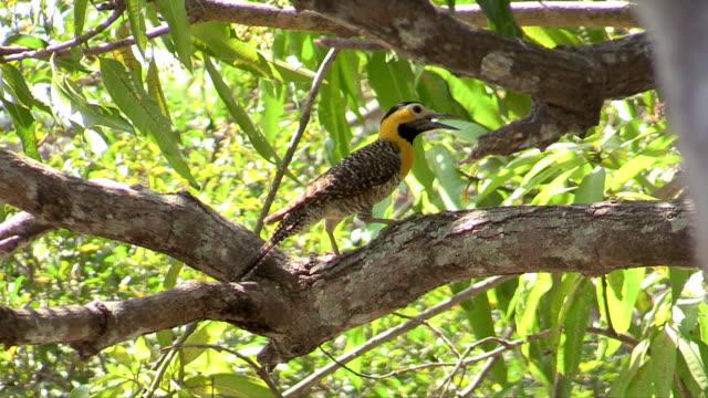 vídeos de stock e filmes b-roll de campo flicker, pantanal, brazil - colaptes
