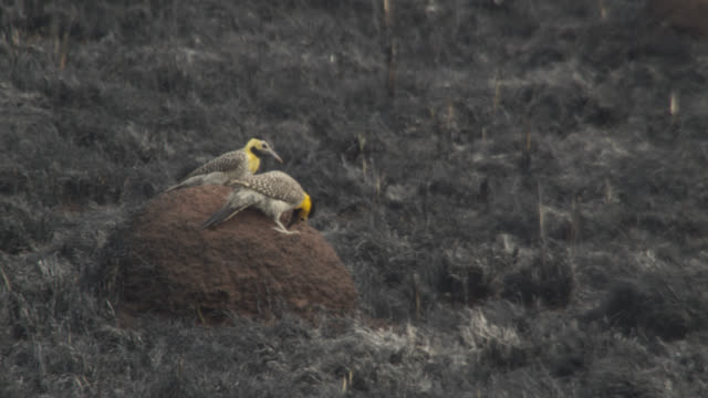 campo flickers (colaptes campestris) feed on termite mound. - flicker bird stock videos and b-roll footage
