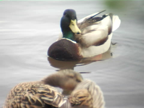 cu, canada, british columbia, vancouver, stanley park, two ducks swimming in pond - pair stock videos & royalty-free footage