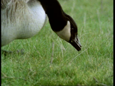 cu canada geese feeding on grass, england, uk - canada goose stock videos & royalty-free footage