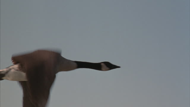 canada geese fly in formation across the sky. - canada goose stock videos & royalty-free footage