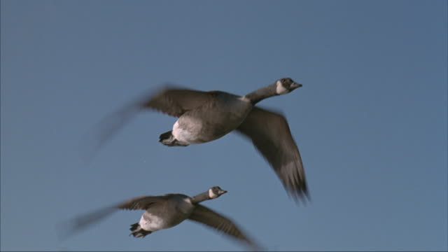 canada geese fly in formation through a blue sky. - oca uccello d'acqua dolce video stock e b–roll
