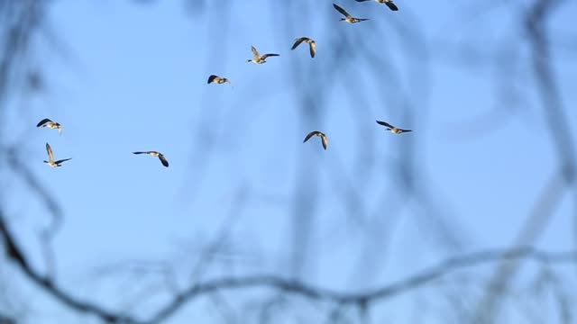 canada geese flying on a clear blue sky, over small river. - oca uccello d'acqua dolce video stock e b–roll