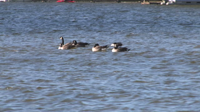 canada geese on the waves - hd 1080/30f - medium group of animals stock videos & royalty-free footage