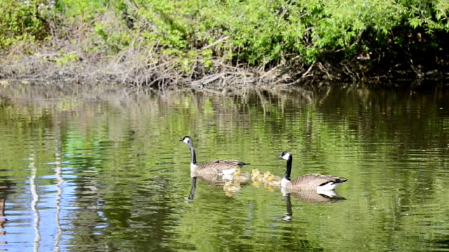 canada geese or branta canadensis with goslings in the water of pond - gosling stock videos & royalty-free footage