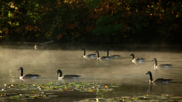 canada geese swimming through mist - evaporation stock videos & royalty-free footage