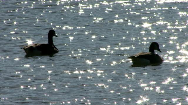 vídeos y material grabado en eventos de stock de canadá gansos piscina - cuello de animal