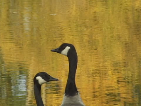canada geese - buy single word stock videos & royalty-free footage