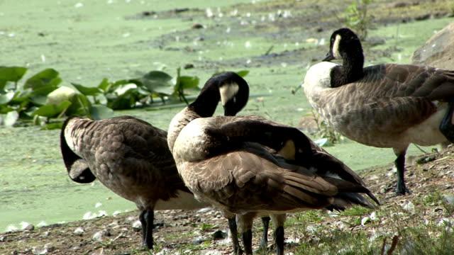stockvideo's en b-roll-footage met canada geese - vier dieren