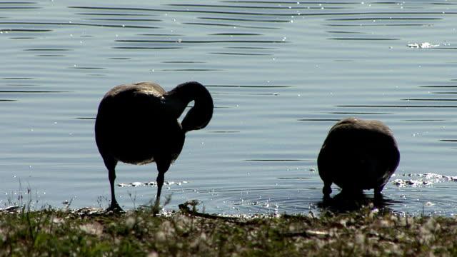 vídeos y material grabado en eventos de stock de canadá gansos - cuello de animal