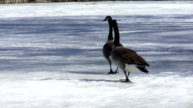 canada geese - canada goose stock videos & royalty-free footage