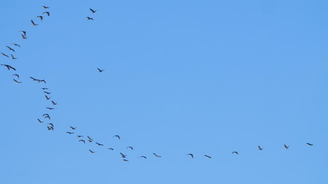 canada goose birds flying in the autumn in new england area, usa. - 鳥を狩る点の映像素材/bロール