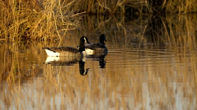 canada goose, branta canadensis, pair on lake in spring - canada goose stock videos & royalty-free footage