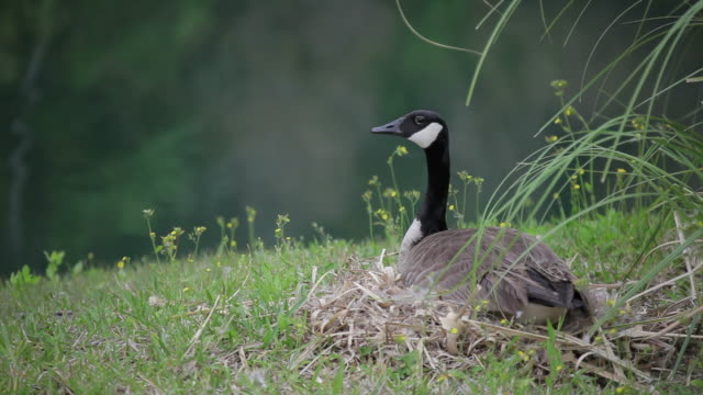 canada goose on the nest - canada goose stock videos & royalty-free footage
