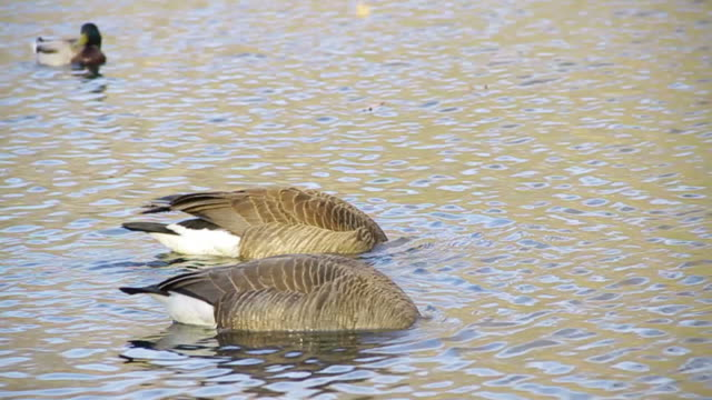 canada goose swimming in a pond - canada goose stock videos & royalty-free footage