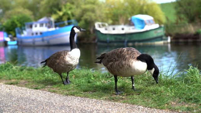 canada gooses eating grass on riverside - royalty stock videos & royalty-free footage