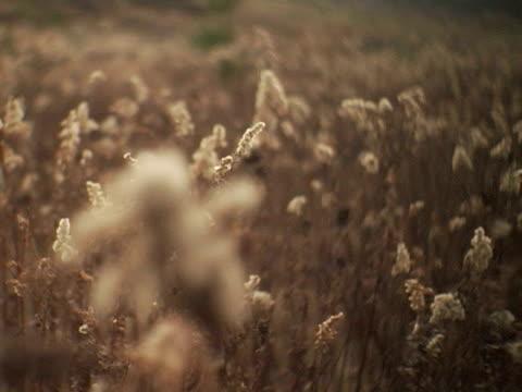 cu, r/f, canada, ontario, dundas, field of goldenrod in fall - viraggio monocromo video stock e b–roll