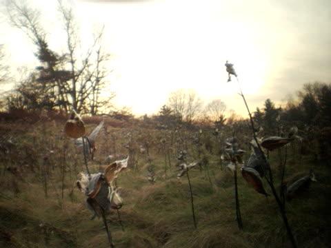 ms, canada, ontario, dundas, milkweed seeds dispersed by wind - ontario canada stock videos & royalty-free footage