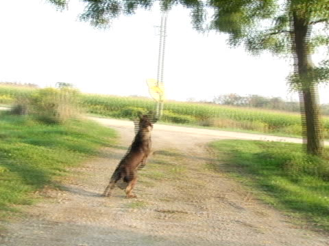 MS, CU, Canada, Ontario, Kitchener, Farm dog running and catching frisbee