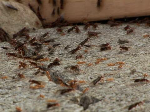 vidéos et rushes de cu, selective focus, canada, ontario, kitchener, termites scurrying around crack in pavement - groupe moyen d'animaux