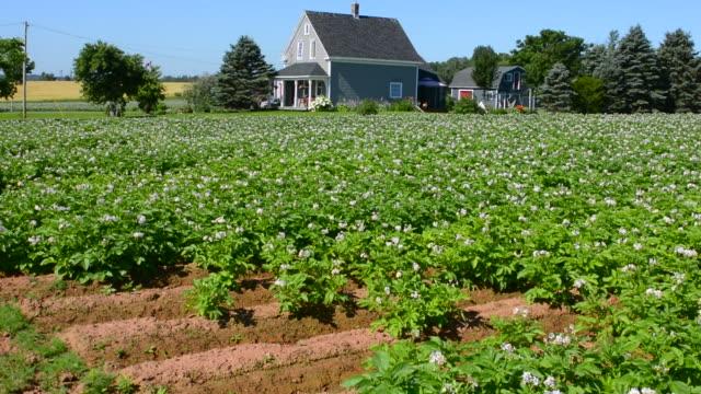 canada prince edward island, p.e.i. charlottetown farming with famous pei potatoes, farm with flowers and farm house - raw potato stock videos & royalty-free footage
