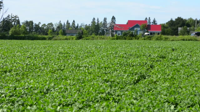 canada prince edward island, p.e.i. victoria farm with soybean fields and farm house - soybean stock videos and b-roll footage