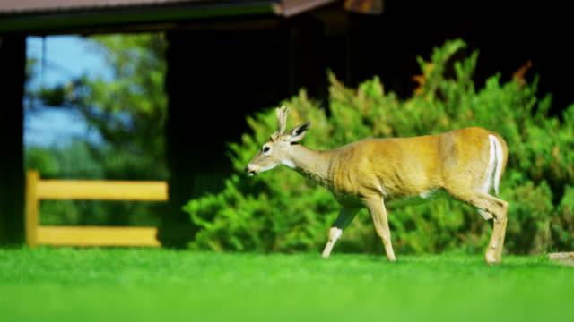 canada rockies wild deer in national park feeding - 動物の脚点の映像素材/bロール