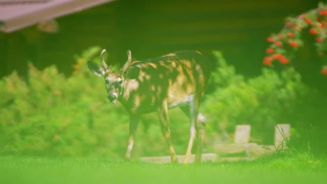 canada rockies wild elk in national park feeding - 動物の脚点の映像素材/bロール