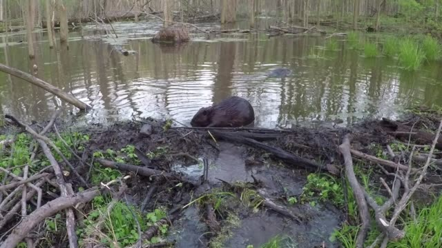 a canadian beaver makes quick work of sealing a leak in its dam flooded to a new depth with plenty of recent rain water from the contained pond pours... - beaver stock videos & royalty-free footage
