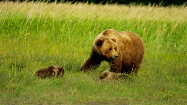 vidéos et rushes de canadian brown female bear with cubs feeding canada - ours brun