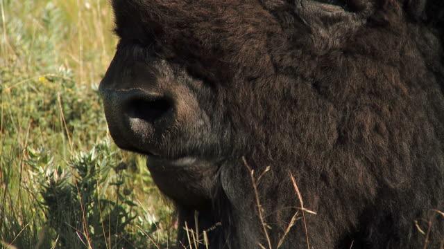 HD: Canadian Buffalo