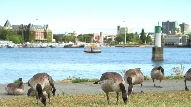 Canadian geese eating in front of Victoria BC