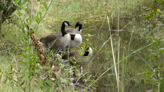 canadian geese on the edge of a pond - herbivorous stock videos & royalty-free footage