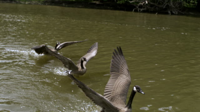 TS WS SLO MO Canadian geese taking off and running on water / Prairie du Chien, Wisconsin, USA