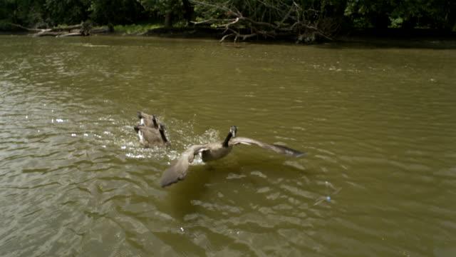 vídeos de stock, filmes e b-roll de ts ws slo mo canadian geese taking off in water / prairie du chien, wisconsin, usa - grupo pequeno de animais