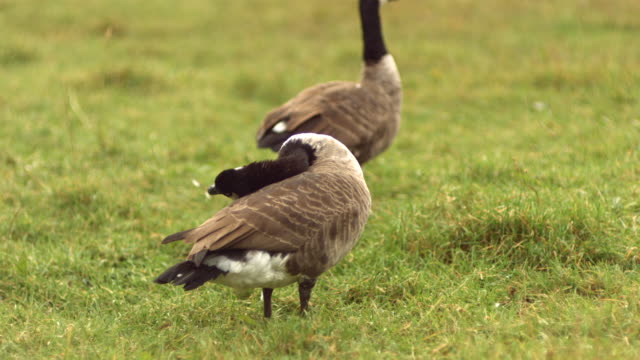 ms slo mo canadian goose cleaning itself and bending its neck in high speed / united kingdom - canada goose stock videos & royalty-free footage