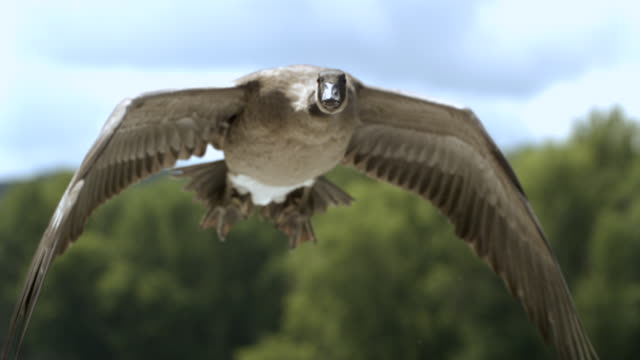 ts cu slo mo canadian goose flying / prairie du chien, wisconsin, usa - canada goose stock videos & royalty-free footage