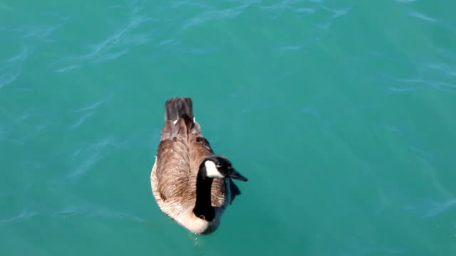 Canadian Goose HD 1080 p