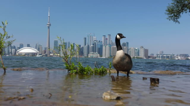 Canadian goose in front of Toronto Skyline