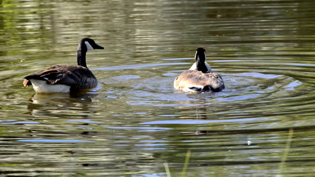 Canadian goose or Branta Canadensis bathing in a pond