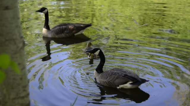 Canadian Goose or Branta Canadensis in Pond During Spring