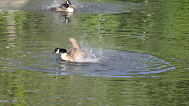 canadian goose or branta canadensis splashing water on a pond. bird watching on an urban park - water bird stock videos & royalty-free footage