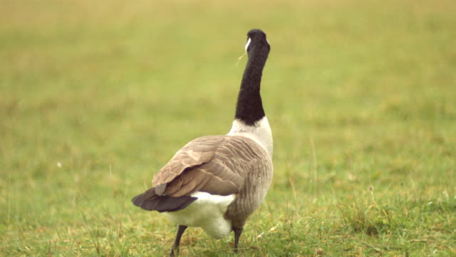 ms slo mo canadian goose shaking its neck in high speed / united kingdom - canada goose stock videos & royalty-free footage