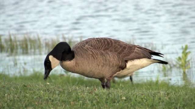 canadian goose - canada goose stock videos & royalty-free footage