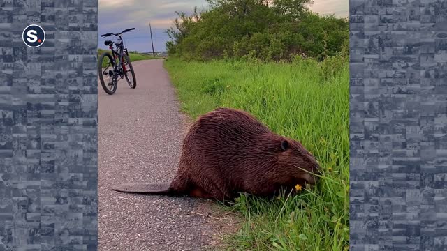 """canadian man ashten monk was reminded that sometimes in life you need to """"stop and smell the flowers"""" when he came across a beaver with its head in... - petal stock videos & royalty-free footage"""
