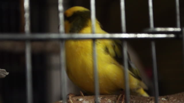 Canary in cage, slow motion