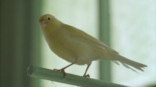 A canary perches on a small post.