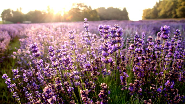 ds candid lavender flowers - lavender stock videos & royalty-free footage
